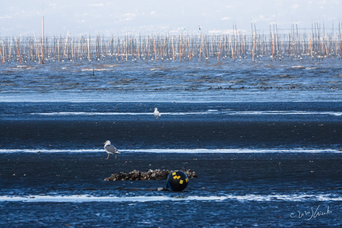 海苔の養殖場とカモメ