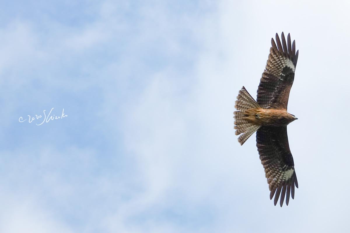 トンビが大空を羽ばたく