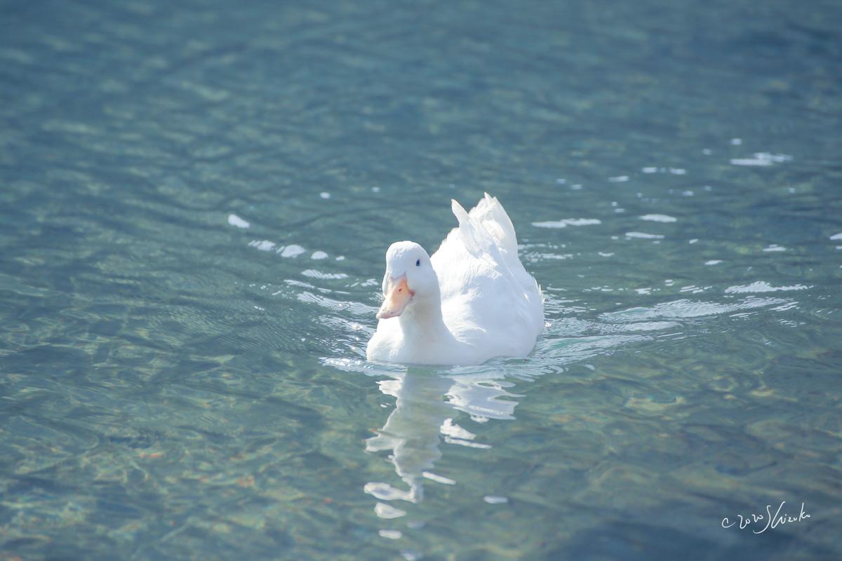大村湾を泳ぐアヒル