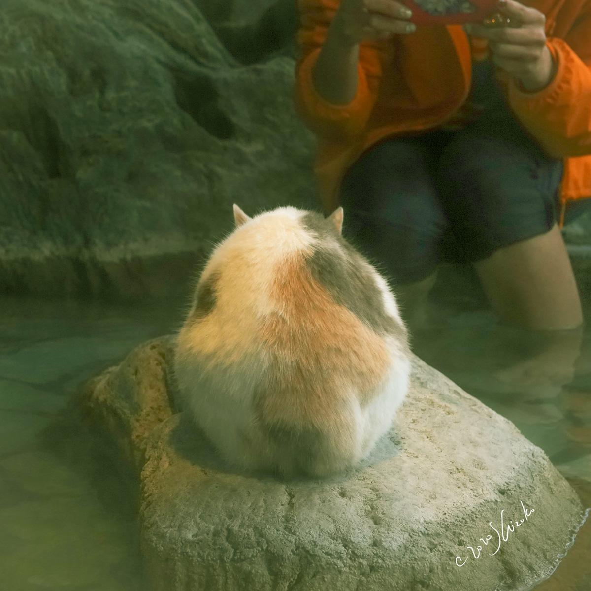 足湯で丸まる猫