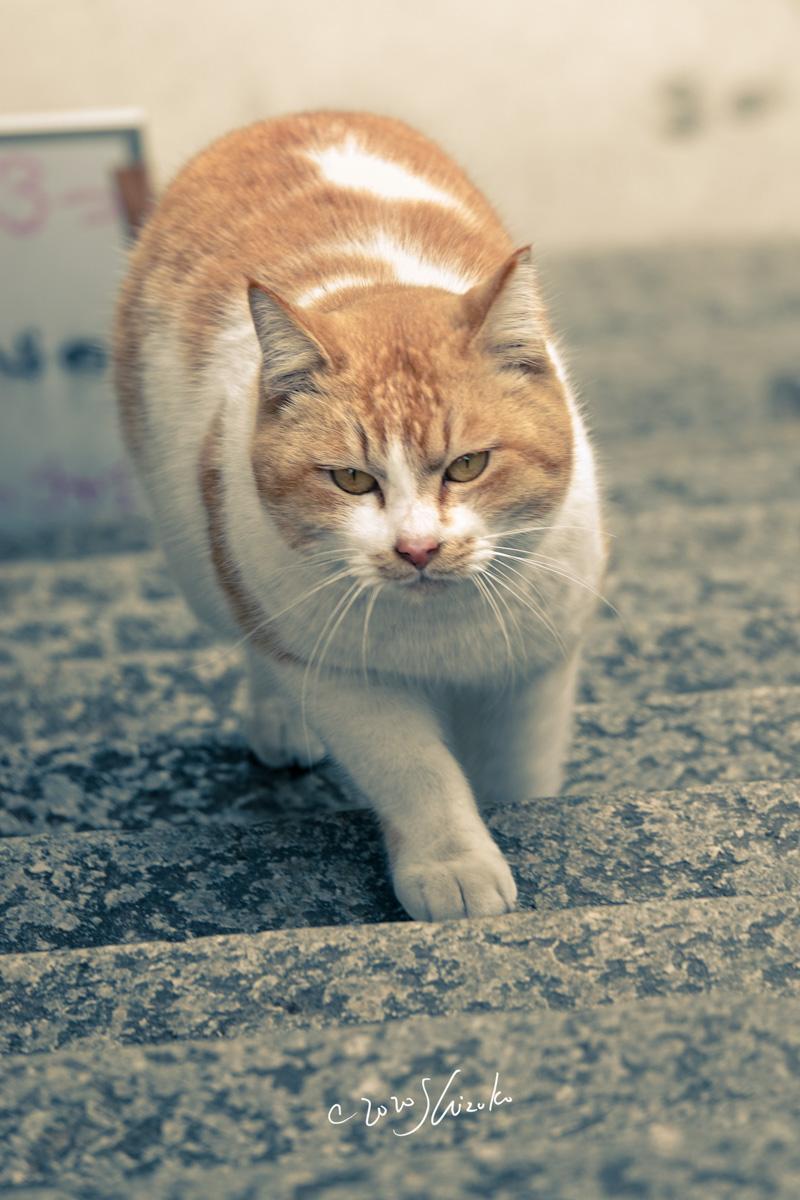 石段を上る猫