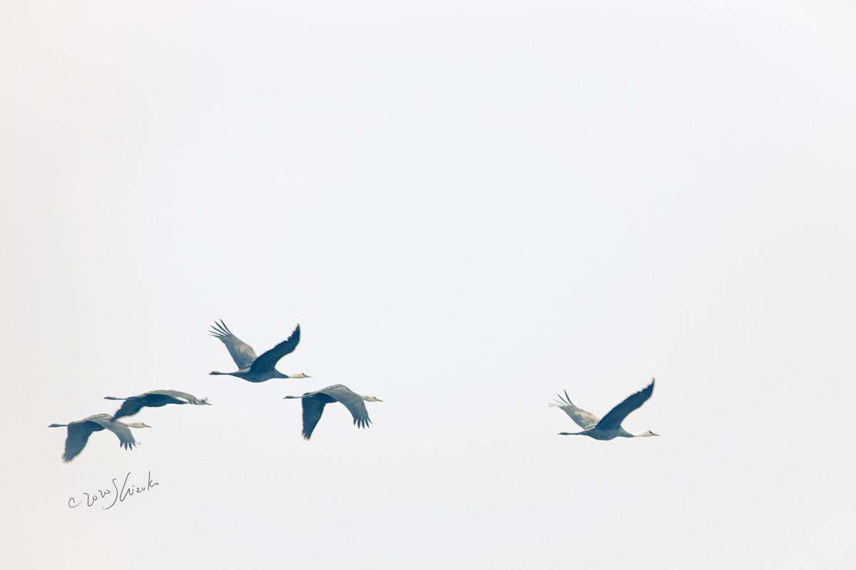 空を飛ぶナベヅル