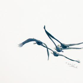 飛ぶナベヅル