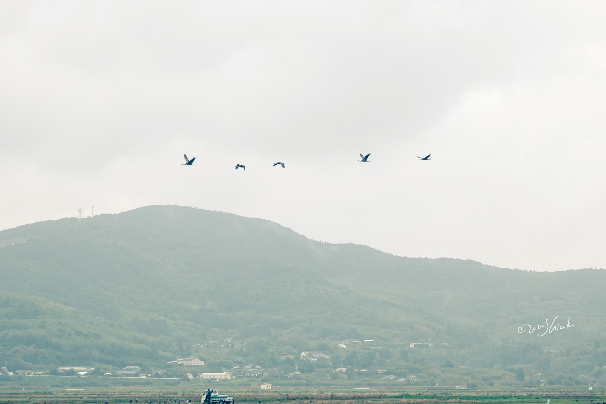 ナベヅルの飛ぶ姿