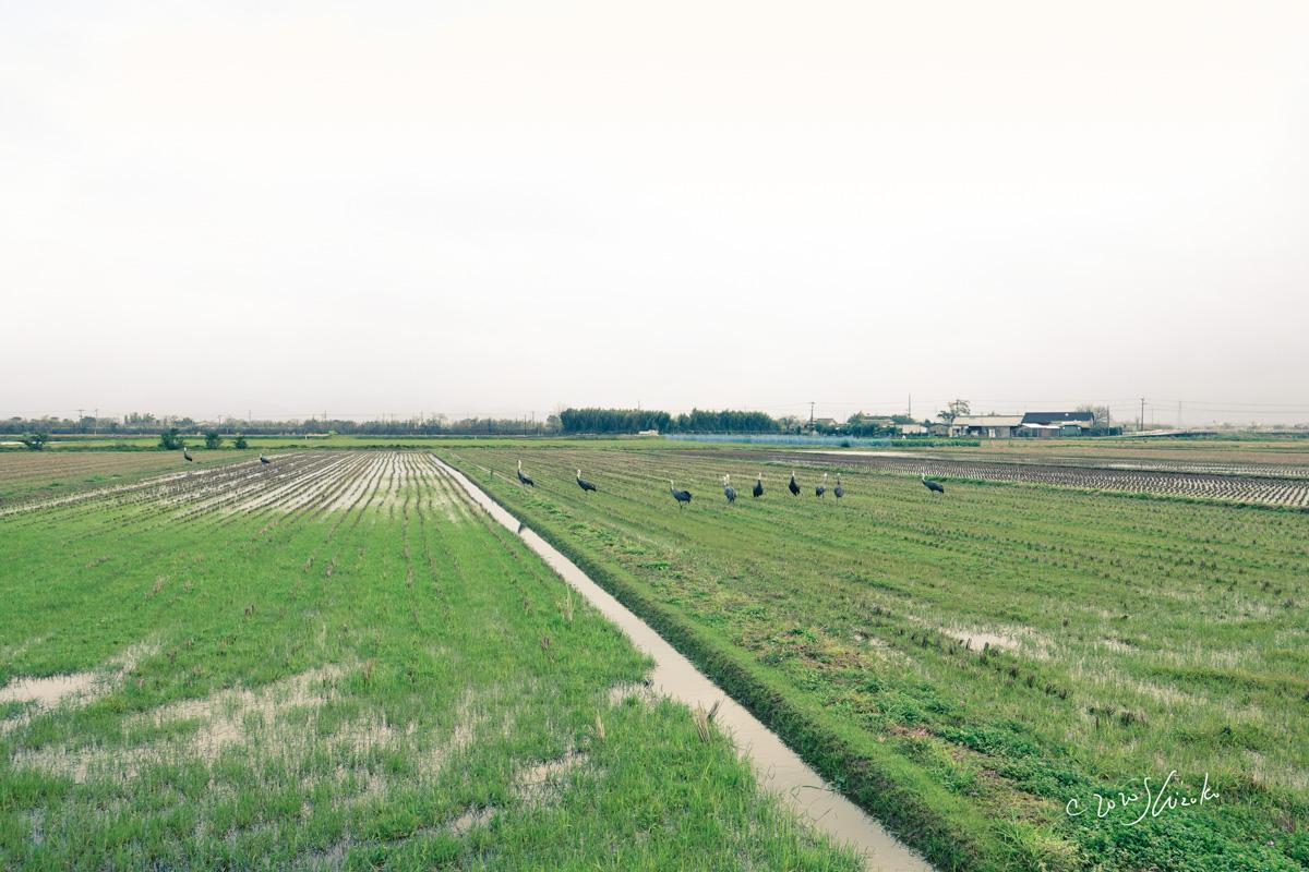 冬の田とナベヅル