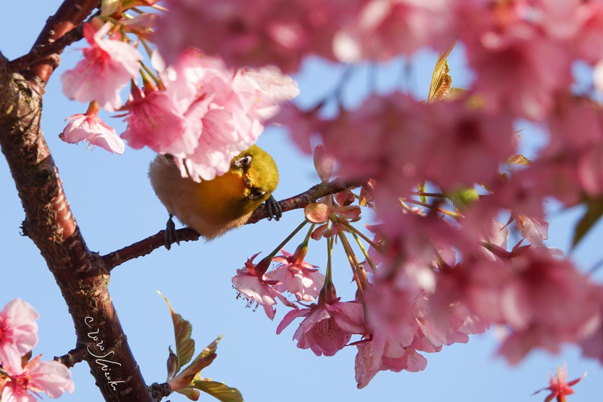 河津桜と覗き込むメジロ