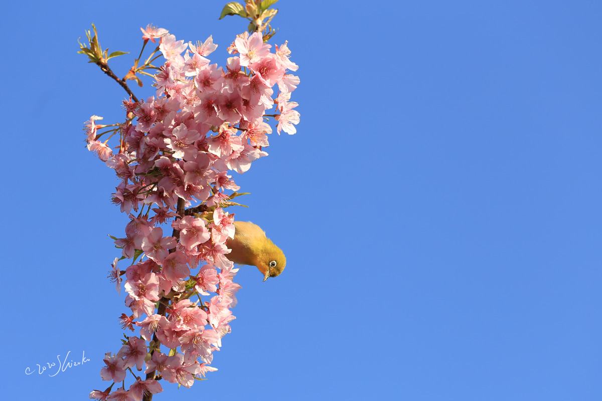 河津桜とメジロの幼鳥